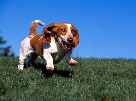 LimeWedge.net Hilarious Pictures of Basset Hounds Running ... Basset Hound Running
