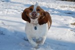 Basset-Hounds-Running-8