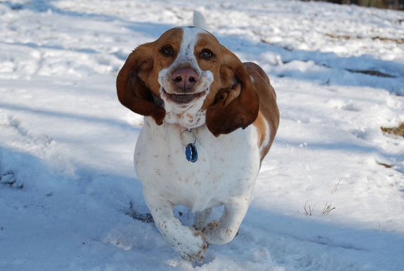Are you a basset hound fan  I am  I own a basset hound mix  but even    Basset Hound Running