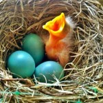 The Baby American Robin's First Precious Breath [Photo]