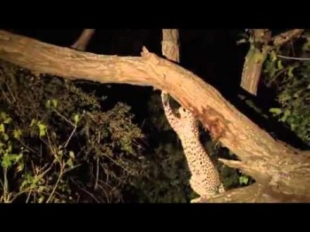 Nature's Compassion Shows Through With Leopard and Prey [Video]